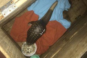 Quảng Trị: Bàn giao 15 cá thể tê tê Java cho Vườn quốc gia Cúc Phương