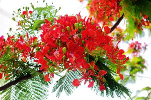 Tháng 5 đừng quên về Hải Phòng ngắm hoa phượng đỏ