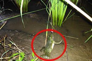 Tuyệt chiêu bắt ếch ở ruộng lúa bằng mồi câu đơn giản