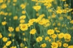 Cúc hoa vàng chữa bệnh mắt