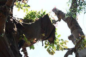 'Ba cây đa sộp không còn thuộc thẩm quyền của UBND tỉnh Thừa Thiên - Huế'