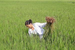 Dân bất an lúa dại chen lẫn lúa thật, không rõ nguồn gốc từ đâu