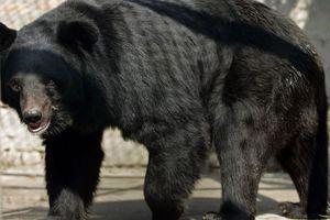 Người đàn ông chết thảm vì cố chụp ảnh với gấu đen