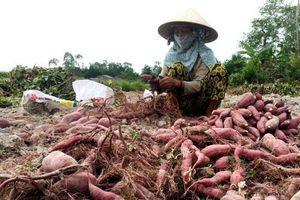 Mô hình trồng khoai lang Nhật cho hiệu quả kinh tế cao tại Quảng Ngãi