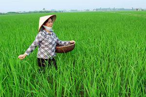 Gạo chất lượng cao: Vẫn khó đầu ra