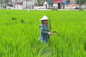 Thanh Hóa: Khuyến cáo người dân loại bỏ 'lúa ma'