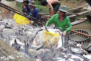 Mỹ chuẩn bị thanh tra thực tế về cá tra ở Việt Nam