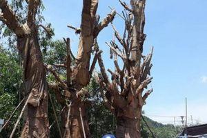Sở GTVT Thừa Thiên-Huế đưa phương án xử lý 3 'cây quái thú'