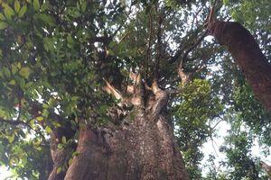 Cận cảnh cây pơ mu 'khủng' gần 1.000 tuổi vừa phát hiện Hà Tĩnh