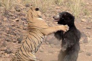 Cận cảnh màn hỗn chiếc ác liệt giữa gấu mẹ với 'chúa sơn lâm'