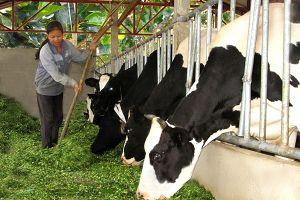 Giải quyết những vướng mắc để phát triển nghề nuôi bò sữa