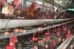 LẠ MÀ HAY: Cho gà siêu trứng nghe nhạc trữ tình, thu nhập 1,5 tỷ đồng/năm