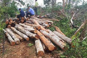 Lại xảy ra phá rừng nghiêm trọng ở Đắk Nông