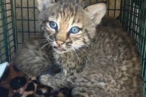 Mang mèo về nuôi, bị cắn 'tơi bời' mới phát hiện không phải mèo