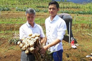 Nhật Bản mở rộng dự án sản xuất tỏi ở Nghệ An