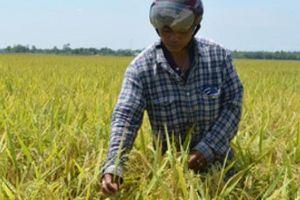 Thắng lớn vụ đông xuân, nông dân Điện Bàn phấn khởi