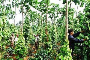 Nhiều thương lái Trung Quốc lùng mua rễ cây hồ tiêu: Dấu hiệu bất thường
