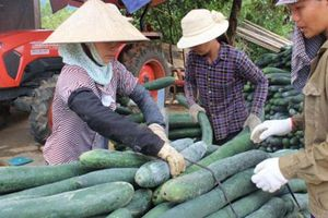 Hòa Bình: Bí xanh chất đầy ngõ vì không có đầu ra giá còn 1.500đ/kg