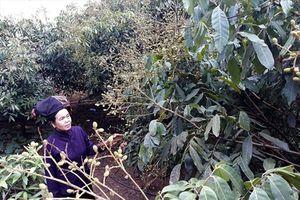 Chặt ngô, nhổ sắn, trồng nhãn ở Sơn La đang lan rộng như vũ bão