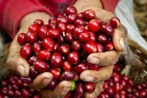 Giá nông sản hôm nay 17/5: Giá cà phê quay đầu tăng nhẹ, giá tiêu ít biến động