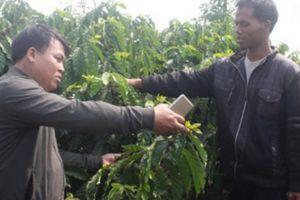Vườn cà phê thêm xanh, người trồng hết cảnh vay 'nóng'