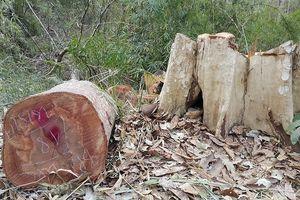 Vụ 'Đi mua phân bò, tiện thể cưa hạ cây rừng': Khởi tố vụ phá rừng ở Ia Chía