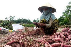 Trồng khoai lang Nhật lãi gấp 3-4 lần trồng lúa