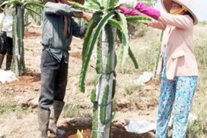 Khắp nơi trồng 'cây vàng' đẻ 'trái rồng', lo mối họa ập đến?