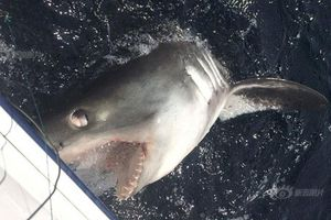 Kịch tính 3 người đàn ông lực lưỡng giằng co cá mập 40 phút