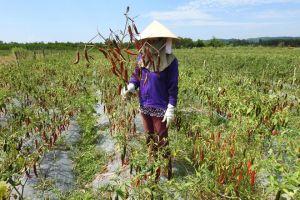 Quảng Trị: Người trồng ớt trắng tay vì không được thu mua