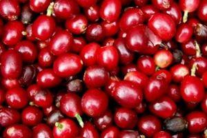 Giá nông sản hôm nay 22/5: Giá cà phê phục hồi tăng mạnh, giá tiêu đi ngang