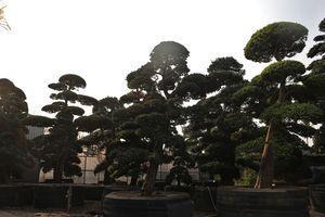 Cận cảnh vườn tùng la hán độc đáo ở Hà Nội