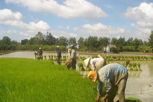 Tái cơ cấu lúa gạo ở ĐBSCL đi đúng hướng