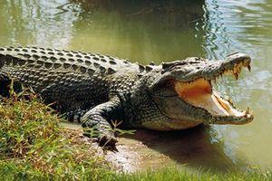 Hải Phòng: Chưa có bằng chứng việc cá sấu 'khủng' sổng chuồng bơi ra kênh Hòa Bình