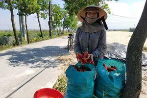 Đã xuất hiện doanh nghiệp 'giải cứu' ớt cho nông dân