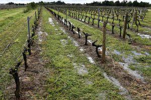 Hàng chục ngàn ha nho tan nát sau những cơn mưa đá liên tục trút xuống
