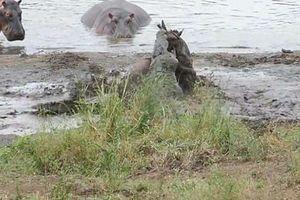 Hà mã cứu giúp linh dương đầu bò thoát khỏi tay cá sấu