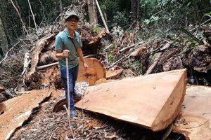 Gỗ bị khai thác trái phép ở nơi 'giữ rừng tốt nhất Kon Tum'