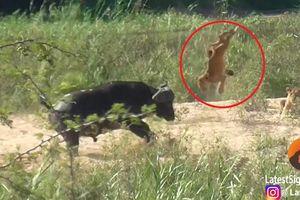 Clip: Trâu rừng dũng mãnh húc bay sư tử, cứu mạng thằn lằn