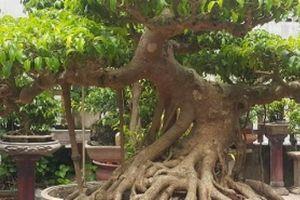 LẠ: Một cây sanh cao vỏn vẹn 80cm ở Thanh Hóa, giá trên 100 triệu
