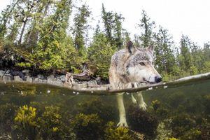 Thú vị loài sói biển bơi rất giỏi, chuyên ăn hải sản