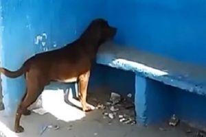 Chú chó nhìn chăm chăm bức tường suốt 3 ngày gây sốt cộng đồng mạng