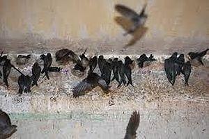 Nuôi chim yến tự phát 'tra tấn' người dân