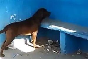 Không rõ lý do, chú chó nhìn chăm chăm bức tường xanh liền 3 ngày