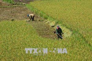 Yêu cầu khẩn trương thu hoạch lúa Xuân