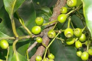 Loại lá quý hơn vàng chữa hẳn 19 bệnh