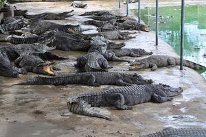 Người nuôi cá sấu 'được cứu'