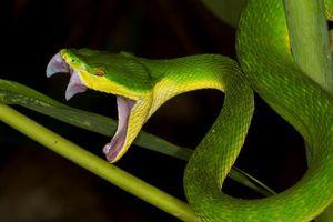Cẩn trọng với rắn lục đuôi đỏ