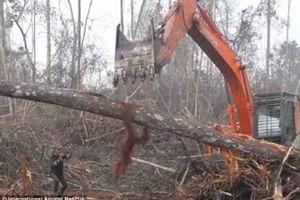 Cảm động trước hình ảnh đười ươi 'chiến đấu' với máy xúc để bảo vệ cây rừng