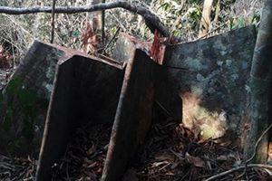 Hàng chục cây ươi rừng bị dân đốn hạ để... lấy hạt